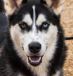 husky with different colored heterochromia pets with different colored knowledge