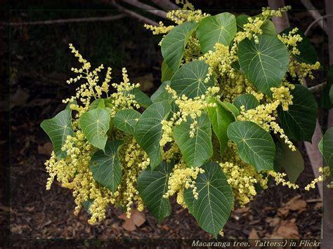macaranga tanarius images useful tropical plants