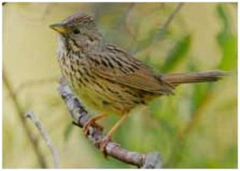 restoring streamside forests helps songbirds survive the
