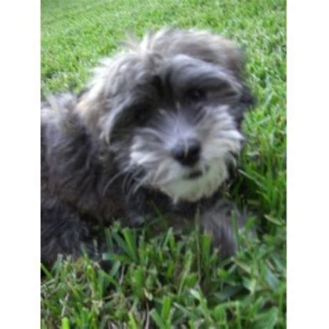 havanese oregon havanese havanese gallagher havanese akc in oregon breed info breeds picture