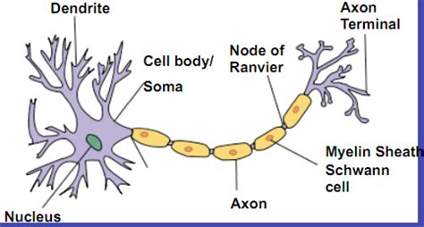 nervous tissue labeled diagram chapter 12 nervous tissue human anatomy 027 053 with