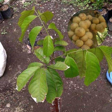 bibit tanaman buah duku tanpa biji jual bibit unggul tanaman duku tanpa biji bibit