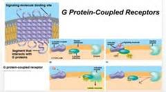 g protein quizlet nuclear hormone receptors and g protein coupled receptors