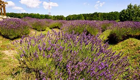 lavender labyrinth lavender labyrinth picture of cherry point farm and