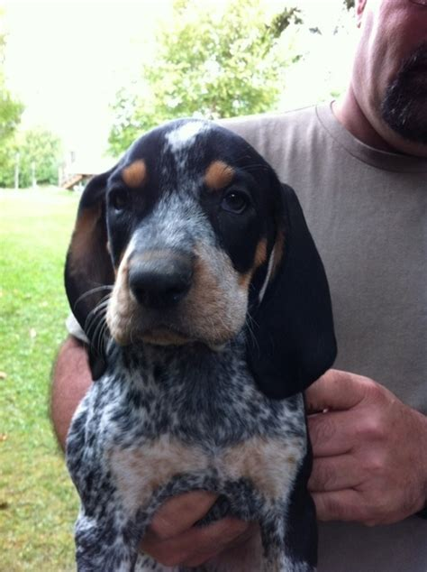 coonhound puppies bluetick coonhound puppy my