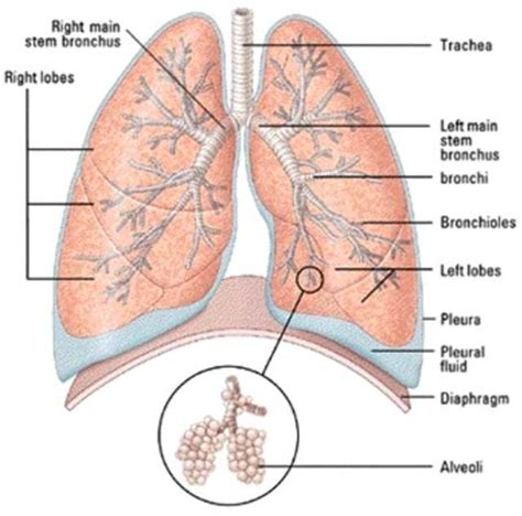 lung cancer diagram lungs diagram of a smoker after cancer anatomy and