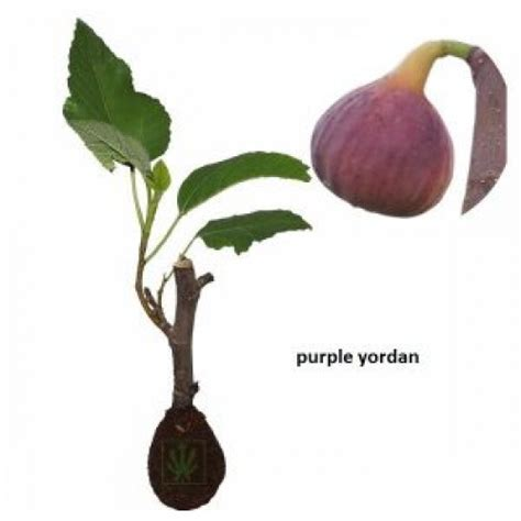 Bibit Tin Yordan jual bibit pohon tin purple yordan