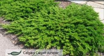 bc cedar hedges creeping juniper ground cover