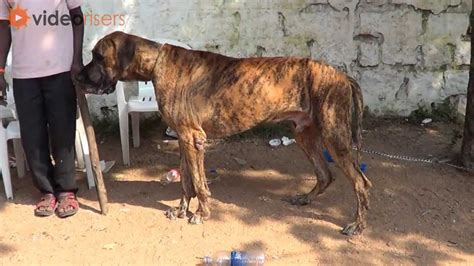 show me pictures of great dane dogs further hypoallergenic miniature great dane dog preparation before dog show to win a