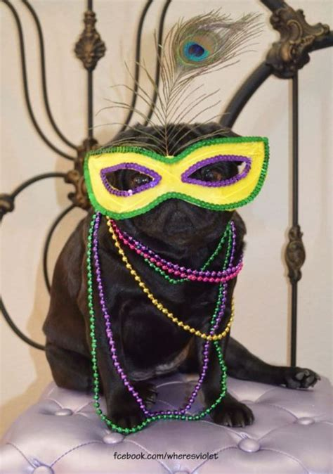 pugs for sale in new orleans 27 best it s carnival time images on louisiana louisiana and