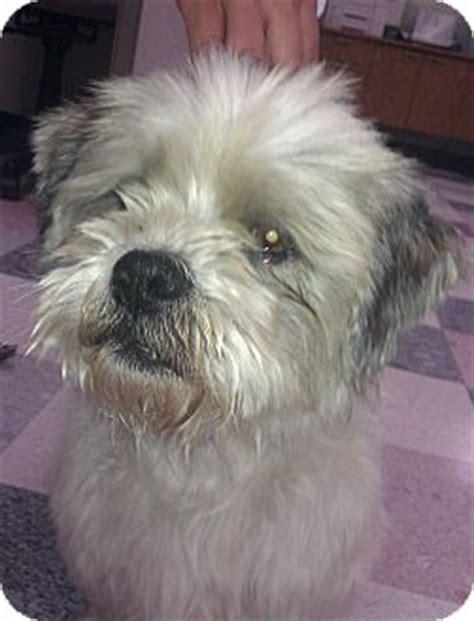 cairn terrier shih tzu quee adopted santa ca cairn terrier shih tzu mix