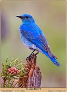 another colorado mountain bluebird animals and birds