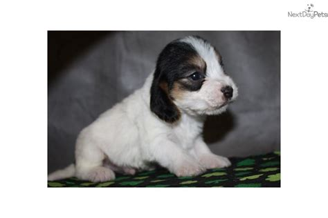 petit basset griffon vendeen puppies for sale petit basset griffon vendeen puppy for sale near sioux city iowa 1ff1ebef 7741