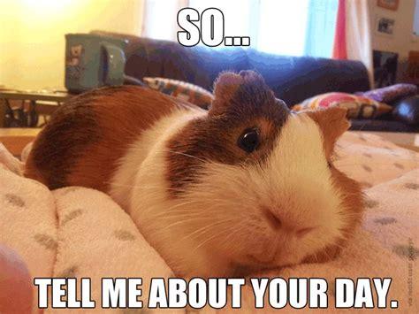Guinea Pig Meme - guinea pigs are great listeners guinea pig