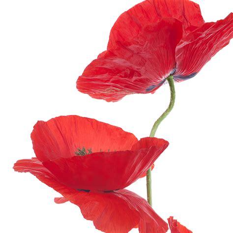 poppys funerals i soon got used to seeing dead bodies female flower spotlight poppy pollennation