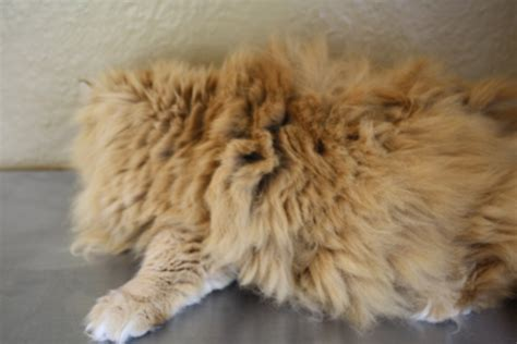Cat Hair Matting by Related Keywords Suggestions For Matted Cat Hair