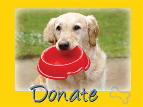 golden retriever to adopt golden retriever rescue resource golden retriever adoptions toledo