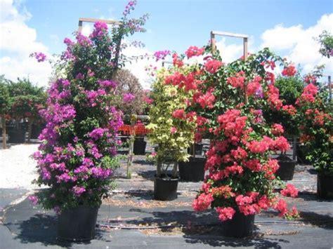 bouganville in vaso as plantas ideais para serem cultivadas em sacadas
