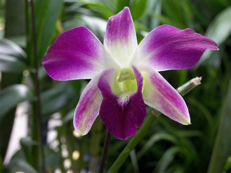 imagenes de orquideas muy bonitas orqu 237 dea p 250 rpura im 225 genes y fotos