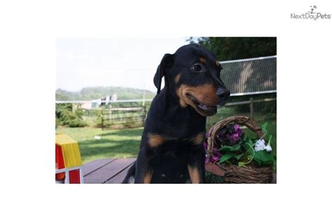 doberman rottweiler mix puppies for sale meet a rottweiler puppy for sale for 500 1jk rottweiler