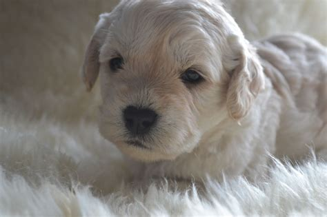 therapy dogs for sale 5 miniature f1 quot therapy puppies quot manchester greater manchester pets4homes