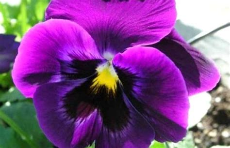 viola fiore la viola fiore perfetto per il giardino invernale polis