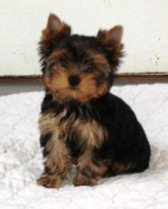 yorkie puppies for sale in michigan ebay 1000 images about keeper biewer bbir reg for sale on terrier