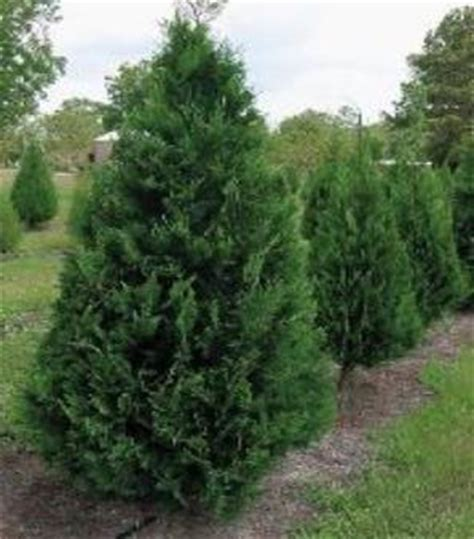 is leyland cypress still the tree to plant i think not is leyland cypress still the tree to plant i think not