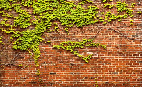 vine wallpaper for walls brick wall with ivy panorama by happeningstock on deviantart
