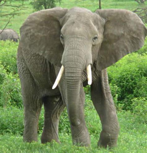 google images elephant elephants images adult elephant wallpaper and background