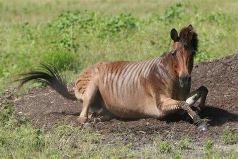 zorse, zebrula, zebrule, zebra mule or golden zebra ...