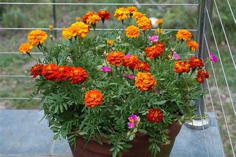 Balconey Dwarf French Marigolds On The Balcony Flickr Photo