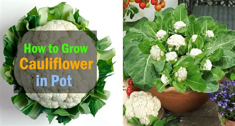 Growing Cauliflower in Containers   Care & How to Grow