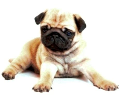 pug puppy sydney pug puppy for sale purebred sydney dogs for sale puppies for sale sydney 152285