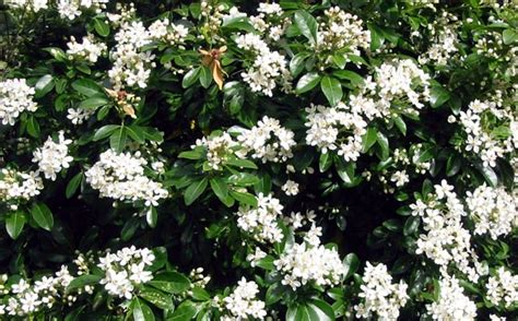 shrub with white flowers choisya ternata