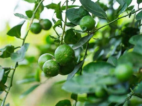 lime tree diacos garden nursery  garden centre