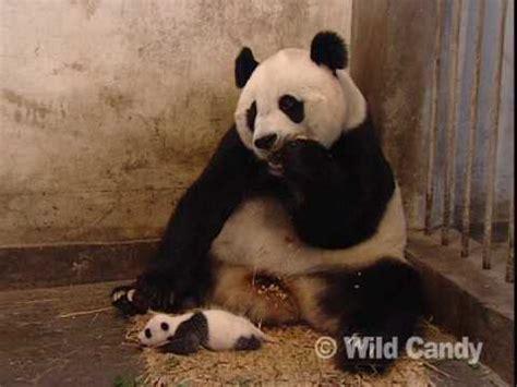 Gw 130 T Shirt By Baby Panda sneezing baby panda the original mov