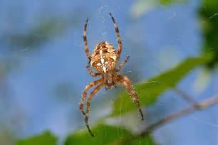 garden spider araneus diadematus flickr photo
