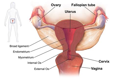 different types of mature vigina the female reproductive system boundless anatomy and