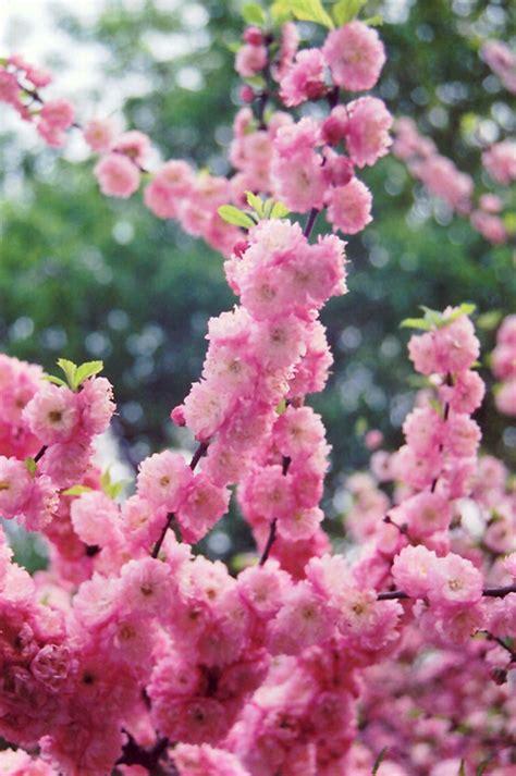 double flowering plum prunus triloba multiplex in sauk