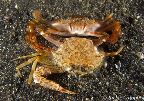 Crab Shedding by Jackie Cbell Images Molting Swimming Crab Lembeh