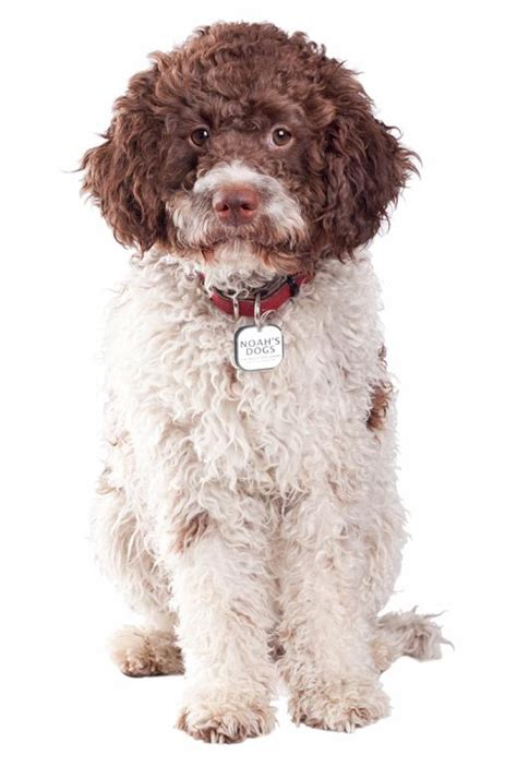 lagotto romagnolo puppies lagotto romagnolo breed information noah s dogs