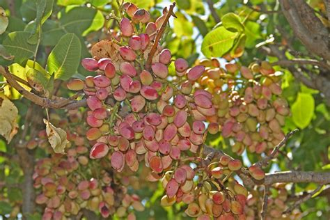 pista tree images pistachios the blushing nut abc rural australian