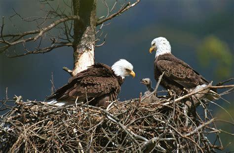 Earthmanpdx: Eagle Cam