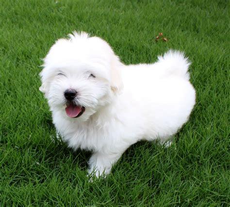 coton puppies coton de tulear breed pictures information temperament characteristics
