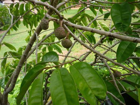 fruit tree for sale forum tropical fruit tree