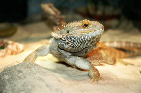 Advice Best Lighting For Bearded Dragons Uvb Light Bulbs