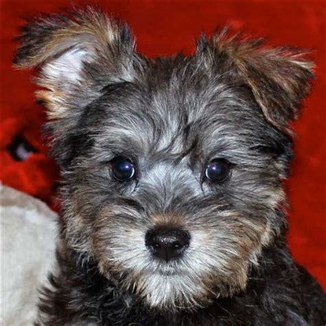 schnoodle puppies florida miniature schnauzer puppy for sale in boca raton south