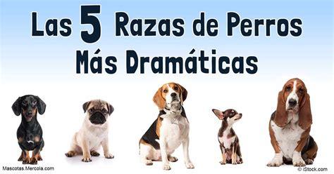 preguntas dificiles para veterinarios veterinarios escogen las 5 razas de perros m 225 s dram 225 ticos