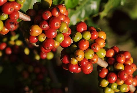 pohon kopi growing coffee beans at home eco snippets